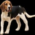 亚博亚博体育官网入口用比格犬