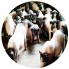 亚博亚博体育官网入口用巴马小型猪