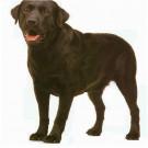 亚博亚博体育官网入口用拉布拉多犬