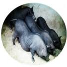 亚博亚博体育官网入口用环江小型猪